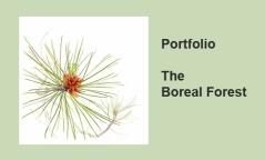 Portfolio - BOREAL FOREST