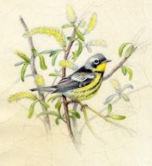 Magnolia warbler -WB-