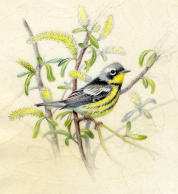 "Magnolia Warbler 6"" x 6"" Watercolor on Vellum"