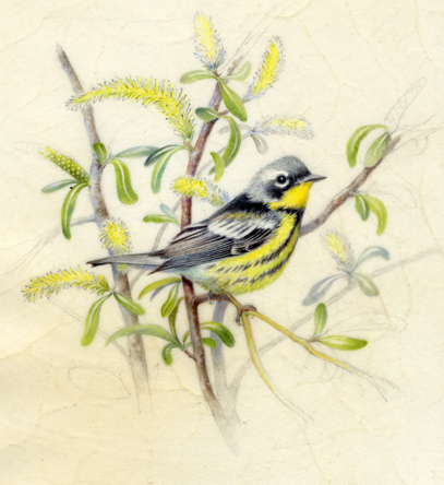 "Magnolia Warbler 6"" x 6"" Watercolor on Vellum"