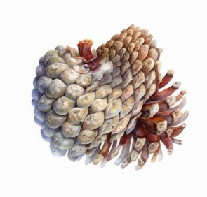 Monterey Pine Cone SOLD Hunt Center for Botanical Documentation, Carnegie Melon