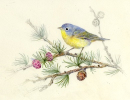 "Nashville Warbler 8"" x 7"" Watercolor on Vellum"