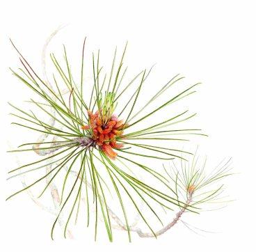Red Pine Branch