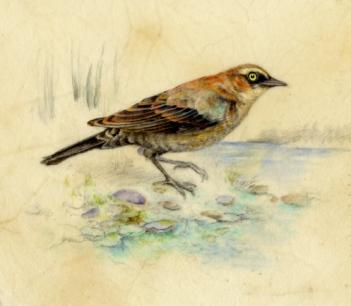 "Rusty Blackbird 7""x 6"" Watercolor on Vellum"