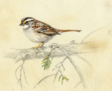 White throated Sparrow -WB-