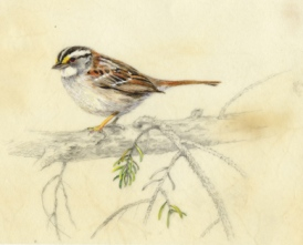White Throated Sparrow SOLD