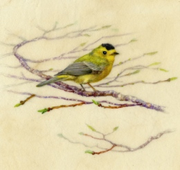 "Wilsons Warbler 7""x 6"" Watercolor on Vellum"