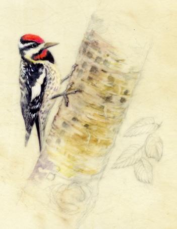 "Yellow Bellied Sapsucker 7""x 8"" Watercolor on Vellum"