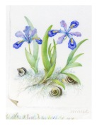 Iris-Cristata-&-Ground-Snai