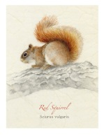 Red-Squirrel--WP-