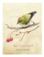 Ruby-Crowned-Kinglet-WP