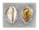 Tiger-Shells-WB-
