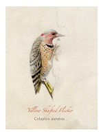 Yellow-Shafted-Flicker-WP-