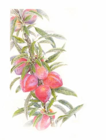 Superior Plum for Florilegium